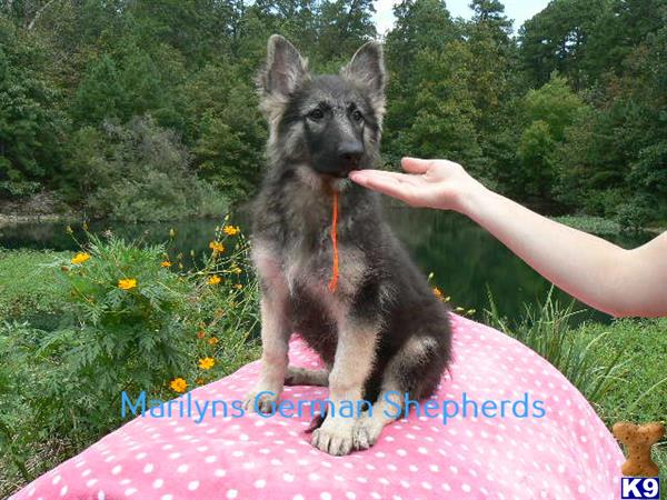 mlwgermanshepherd Picture 1