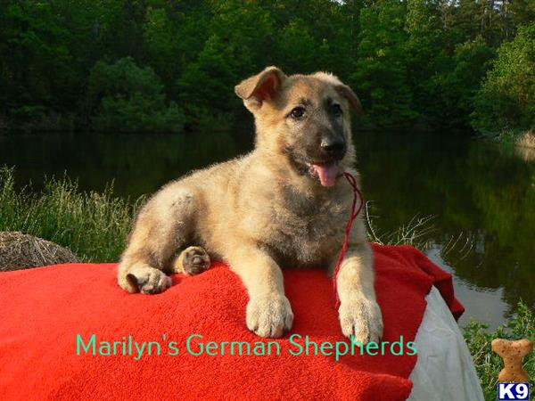 mlwgermanshepherd Picture 2