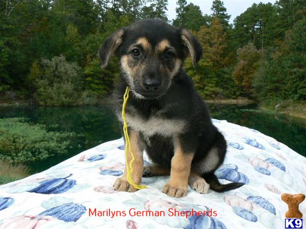 mlwgermanshepherd Picture 3