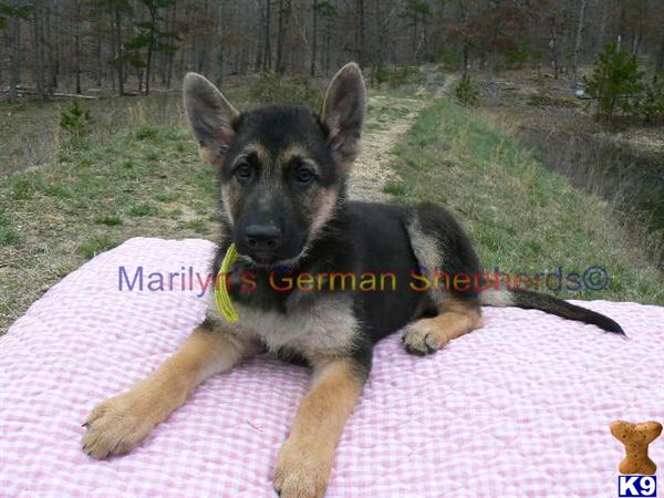 Robin Blues Mr. Lime, Black and Tan Male Puppy, Available Now