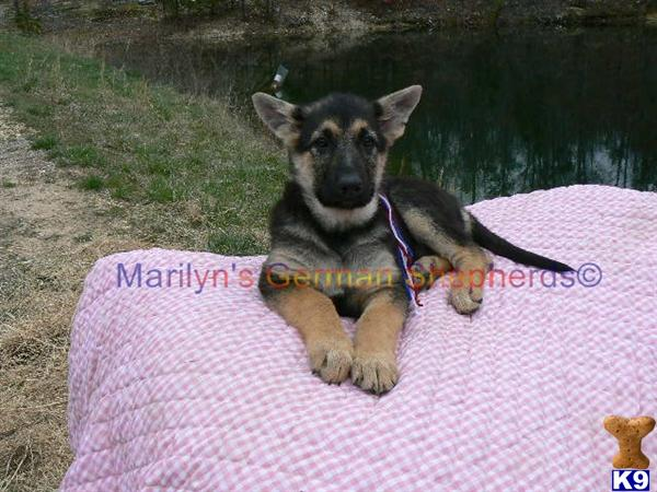 Robin Blues Miss USA, Black and Tan Female Puppy, Available Now