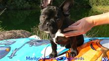 french bulldog puppy posted by mlwgermanshepherd