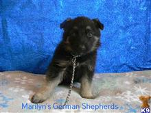 german shepherd puppy posted by mlwgermanshepherd