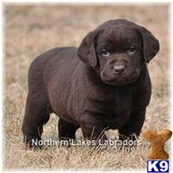labrador retriever puppy posted by mnlabs13