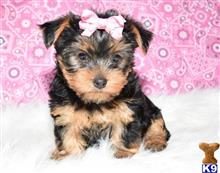 yorkshire terrier puppy posted by molaresjaminez