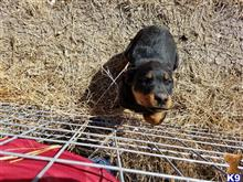 rottweiler puppy posted by molnoskey2009