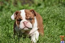 english bulldog puppy posted by morganbright700