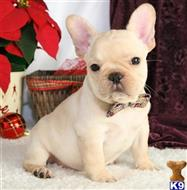 french bulldog puppy posted by morganclinton