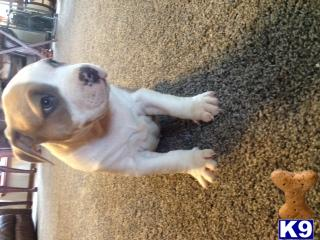 american pit bull puppy posted by morganricky15