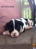 american bulldog puppy posted by mpphelan1