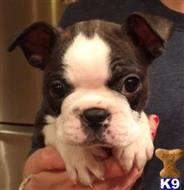boston terrier puppy posted by mrmcgrail