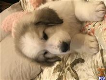 great pyrenees puppy posted by mrsmoles