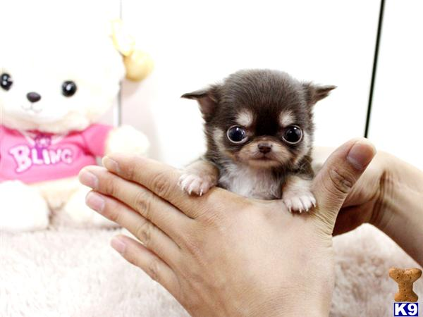 Chihuahua Puppy for Sale: Baby Choco ~ LC Gorgeous Micro Teacup