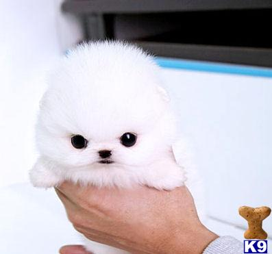 Pomeranian Puppies For Sale: Mississippi Pomeranian Puppies For Sale