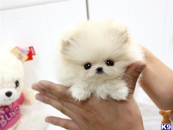 Pomeranian Puppies For Sale Pomeranian Puppies For Sale In Ms