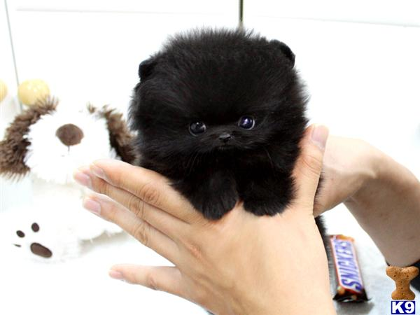 Black Micro Teacup Pomeranian Puppies Images & Pictures - Becuo