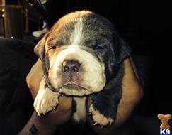 american pit bull puppy posted by mtunze33