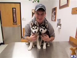 siberian husky puppy posted by mudios