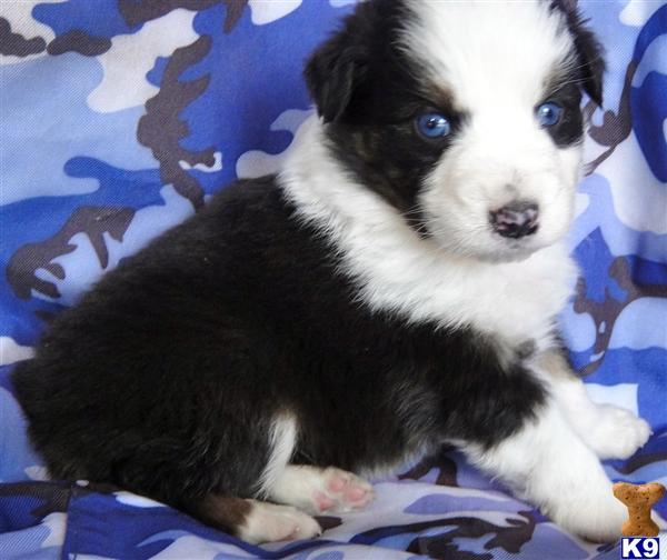 Australian Shepherd Puppy For Sale RARE Black Bi Blue
