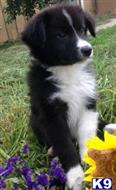 australian shepherd puppy posted by mustangldy967