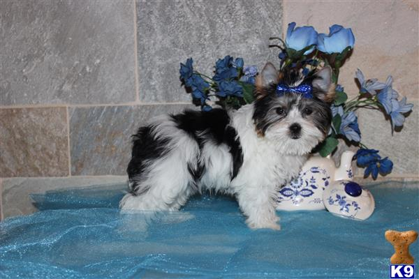 my babydoll yorkies Picture 2