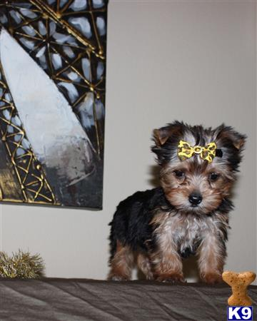 my babydoll yorkies Picture 3