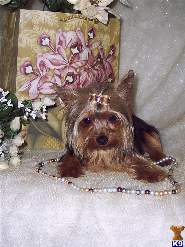 AKC/CKC TRADITIONAL YORKIE TERRIER FOR STUD SERVICE HE CARRY THE GOLD GENES