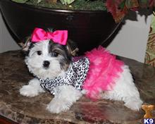 biewer puppy posted by my babydoll yorkies
