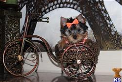 yorkshire terrier puppy posted by my babydoll yorkies