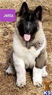 akita puppy posted by myaksaints