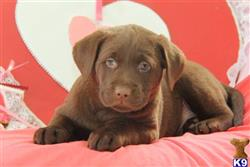 labrador retriever puppy posted by mycutepuppies
