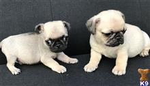 pug puppy posted by myllifejenny
