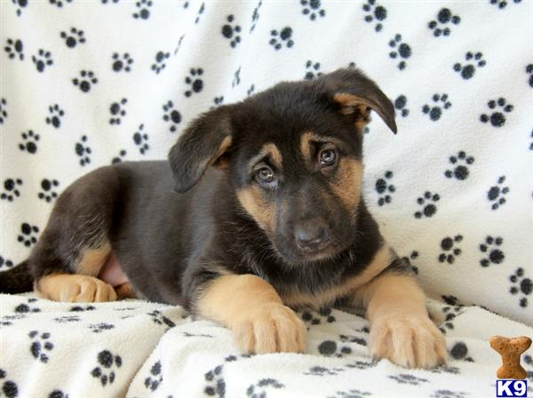 german shepherd puppy posted by mypups4ever