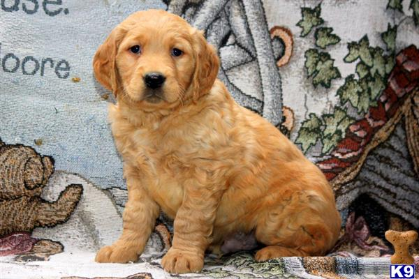 golden retriever puppy posted by mypups4ever