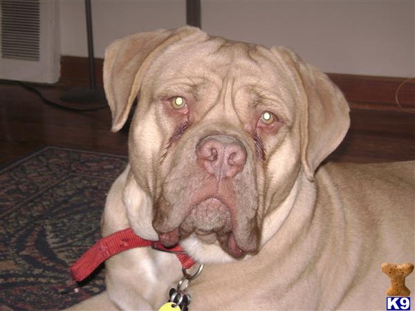 Old English Bulldog Puppy For Sale Olde Bulldogge X Dogue