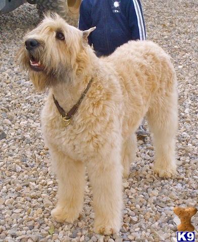 Bouvier Des Flandres Puppy For Sale Bouvier Des Flandres For Sale 7