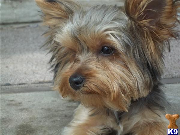 Yorkshire Terrier Pupp...