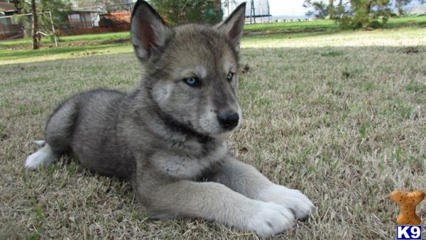Wolf Dog Puppy for Sale: wolf/husky puppies exotics now 13
