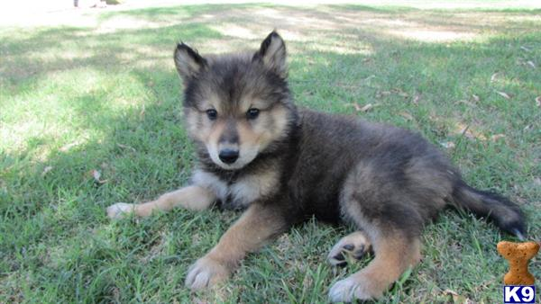 wolf dog puppy posted by nakkitta