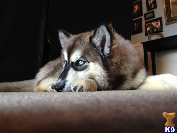Wolf Dog Puppies for sale in California