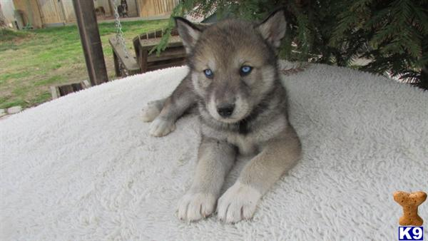 Wolf Dog Puppy For Sale Siberian Husky Mix Timber And White Arctic