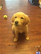 golden retriever puppy posted by nancychadwick