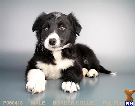 Border Collie Puppy For Sale Buddy 5 Years Old