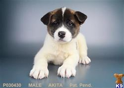 akita puppy posted by ncpuppy