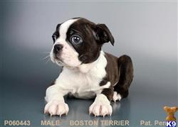 boston terrier puppy posted by ncpuppy