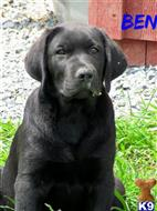 labrador retriever puppy posted by newsbd