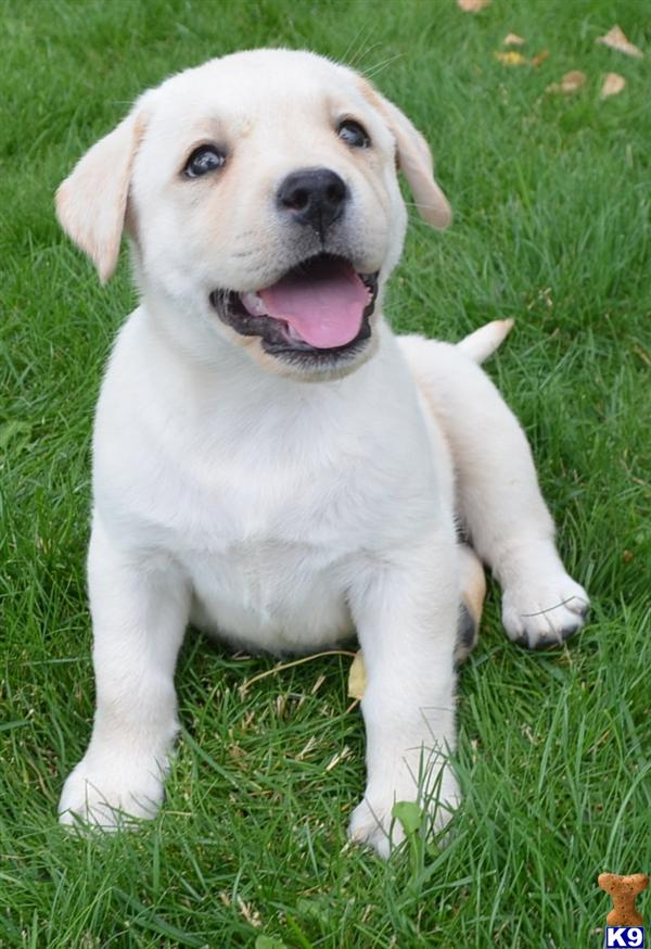Huge Gorgeous light yellow/english creme lab pups out of ofad parents