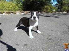 boston terrier puppy posted by norcalpup