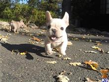 french bulldog puppy posted by norcalpup