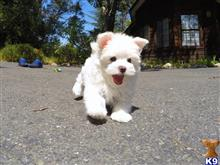 maltese puppy posted by norcalpup